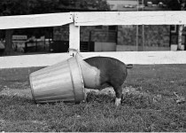 """A photograph of a pig in a bucket paired with a man with his head in a telephone booth in Rio de Janeiro from the """"Twosome"""" series of photographer Mark Chester on display at the OK Harris gallery in Soho. Photo Credit and Courtesy of: Mark Chester."""