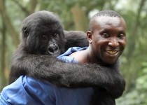 Andre Bauma and orphaned mountain gorilla Ndakasi at the Senkwekwe Centre in Virunga National Park. Photo Credit: Orlando von Einsiedel.